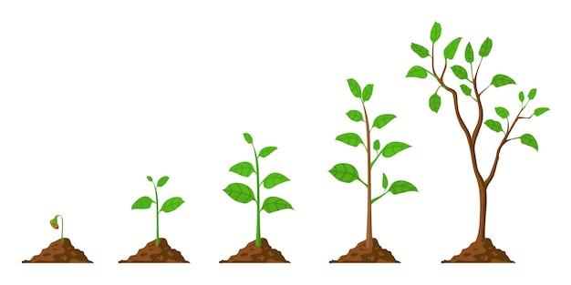 Baum wachsen. pflanzenwachstum vom samen bis zum bäumchen mit grünem blatt. stadien von sämlingen und wachsenden bäumen im boden. gartenarbeit-prozess-vektor-konzept. öko, botanischer anbau, grünes laub