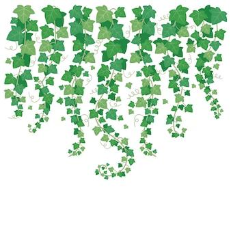 Baumelnder grüner efeu