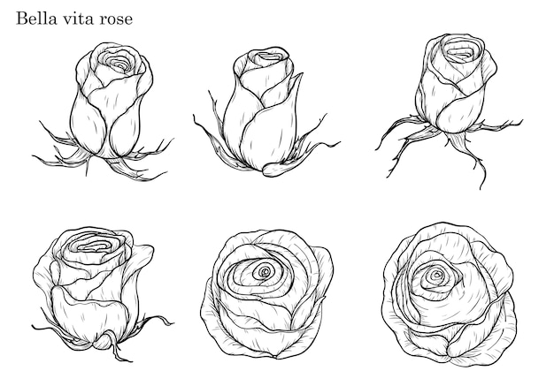 Bella vita rose vektor zeichnung von hand