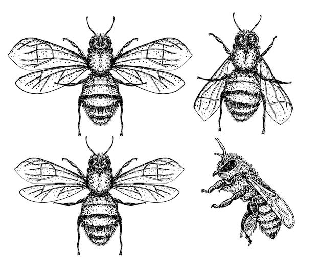 Bienenskizzensatz. vintage zeichnung der honigbiene. hand gezeichnete isolierte insektenskizze. gravurartillustration