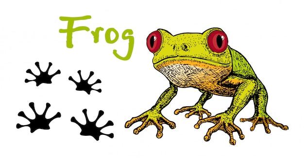 Bild eines grünen laubfrosches auf weißem hintergrund. frosch rote augen. skizze des frosches, hand gezeichnete illustration. der frosch und seine spuren. fußabdrücke eines frosches.