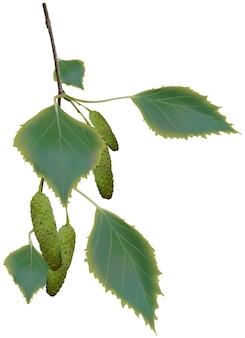 Birkenzweig mit blättern und kätzchen