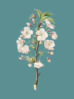 Birnenbaum blüht von pomona italiana-illustration