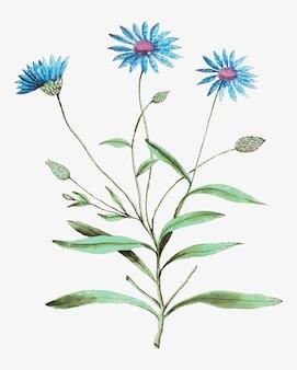 Blaue strohblume in der weinleseart