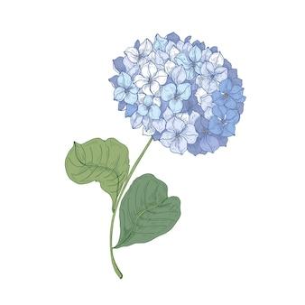 Blühende blume der hortensie oder der hortensie lokalisiert auf weißem hintergrund. detaillierte natürliche zeichnung der gartenornamentblüte.