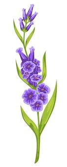 Blühende dekorative blumen mit lila zarten blütenblättern und grünem stiel mit blättern. isolierte lila botanik, weibliches geschenk oder geschenk für den urlaub. elegante pflanze, lavendelornament. vektor im flachen stil