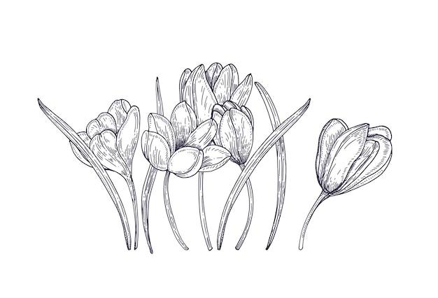 Blühende frühlingskrokusblüten auf weiß. wunderschöne saisonale gartenblüte. blumengestaltungselement. kontur realistische handgezeichnete illustration im vintage-stil.