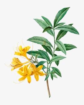 Blühende gelbe azalee