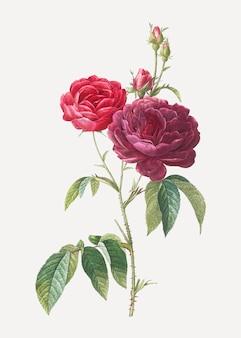 Blühende lila rosen