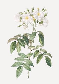 Blühende moschusrosen