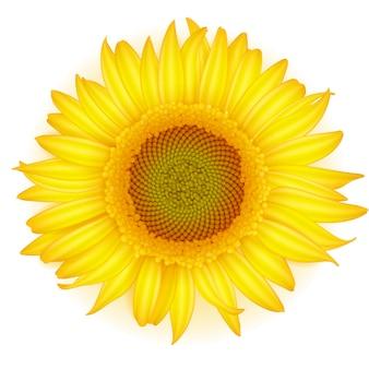 Blühende sonnenblume in der realistischen art auf weißem hintergrund.