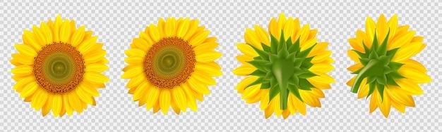 Blühende sonnenblume. realistische sonnenblumen lokalisiert auf transparentem hintergrund
