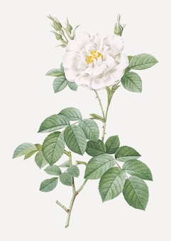 Blühende weiße rose