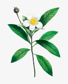 Blühender loblolly-buchtbaum