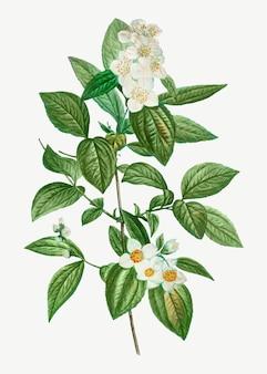 Blühender philadelphus coronarius