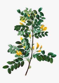 Blühender sibirischer erbsenbaum