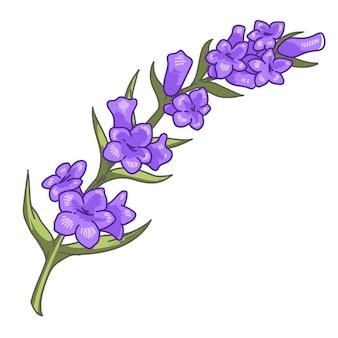 Blume in blüte, zweig des blühenden lila lavendels. isolierte ikone der dekorativen komposition, botanik und dekoration für zu hause duftendes kraut. flora und botanische biodiversität, vektor im flachen stil