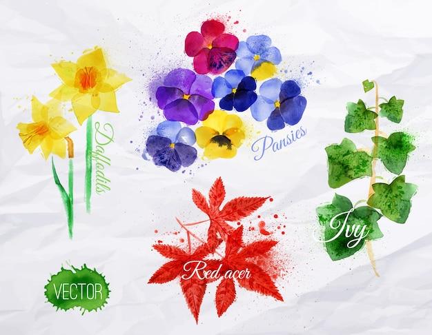 Blumengrasnarzissen, pansies, efeu, roter acer