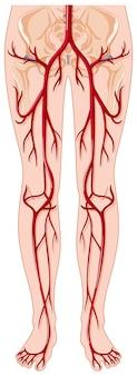 Blutgefäße im menschlichen körper