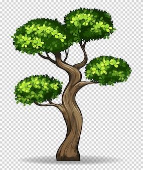 Bonsaibaum auf transparentem