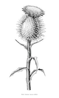 Botanische handzeichnung der mariendistelpflanze lokalisiert auf weißem hintergrund