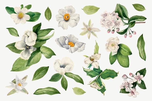 Botanische illustration des weißen blumenvektorsatzes