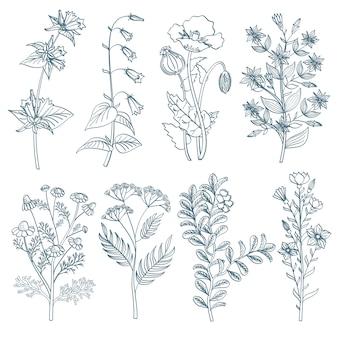 Botanische medizinische organische heilpflanzen der wilden blumen der kräuter