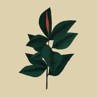 Botanische vektorgrafik der gummipflanze