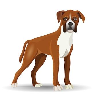 Boxerhund in voller länge-vektor-illustration isoliert auf weiss. mittelgroße, kurzhaarige hunderasse mit glattem und eng anliegendem fell