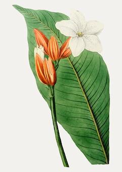 Brasilianischer rotmantel
