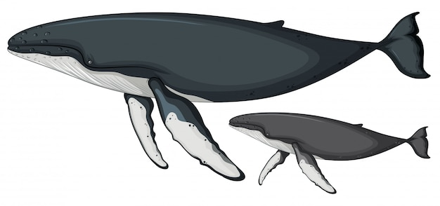 Buckelwal auf weißem hintergrund
