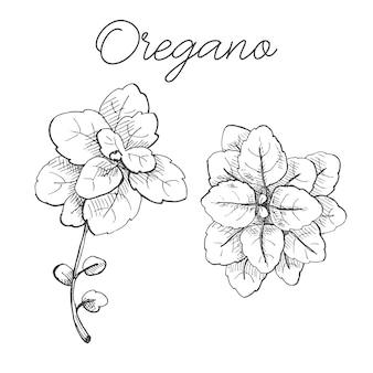 Bündel oregano isoliert auf weiß