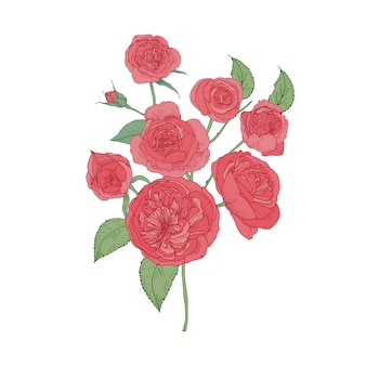 Bündel rosa kohl oder austin rose blumen lokalisiert auf weißem hintergrund.