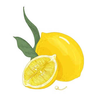 Bunte botanische zeichnung von ganzen und geschnittenen zitronen mit blättern und samen. frische saure gelbe zitrusfruchthand gezeichnet auf weißem hintergrund.