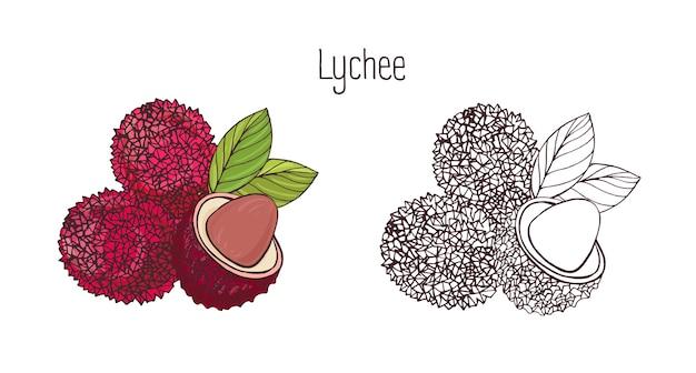 Bunte und monochrome botanische zeichnungen der ganzen und geschnittenen litschi lokalisiert auf weißem hintergrund. bündel frischer tropischer bio-früchte, köstliches süßes vegetarisches lebensmittelprodukt. illustration.