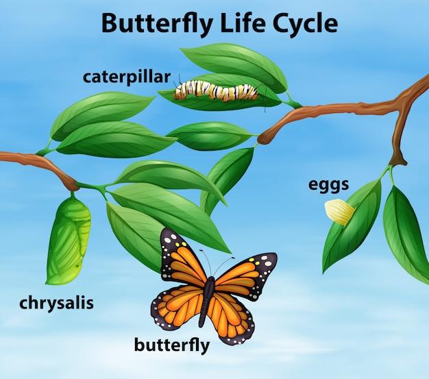 Butterfly-lebenszyklus-diagramm