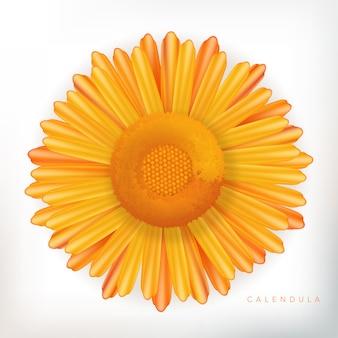 Calendula flower illustration