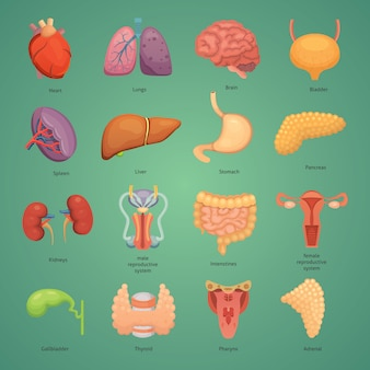 Cartoon menschliche organe gesetzt. anatomie des körpers. fortpflanzungssystem, herz, lunge, gehirnillustrationen.