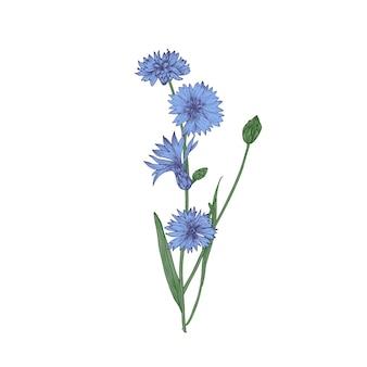 Centory oder starthistle blüten, knospen und blätter hand auf weiß gezeichnet