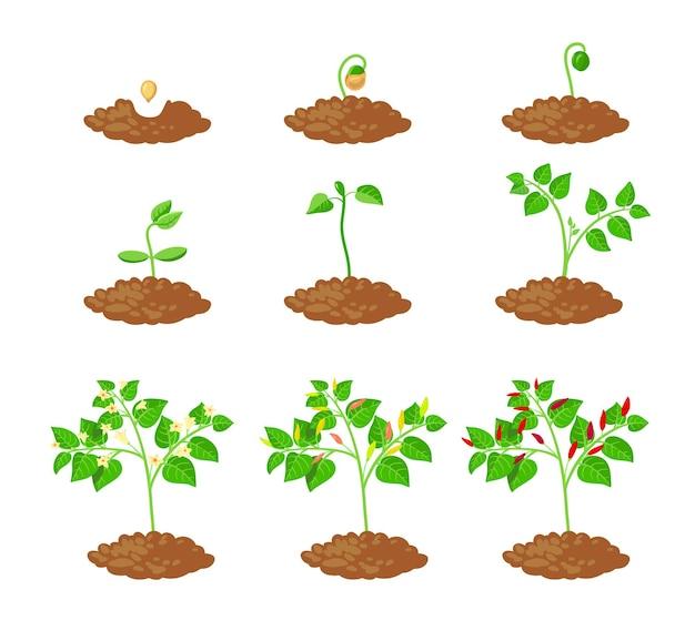 Chili-pfeffer-pflanzenwachstumsstadien infografik-elemente. chili-schössling-pflanzprozess vom samenkeim bis zum reifen gemüse