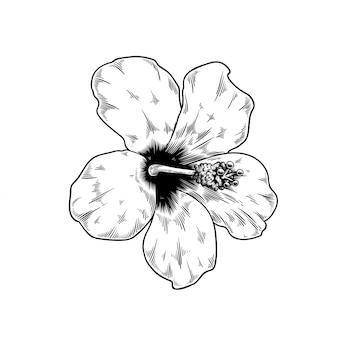 Chinesische rose zeichnungsblumennatur