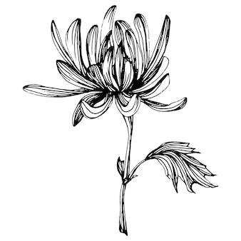 Chrysantheme von hand zeichnen.