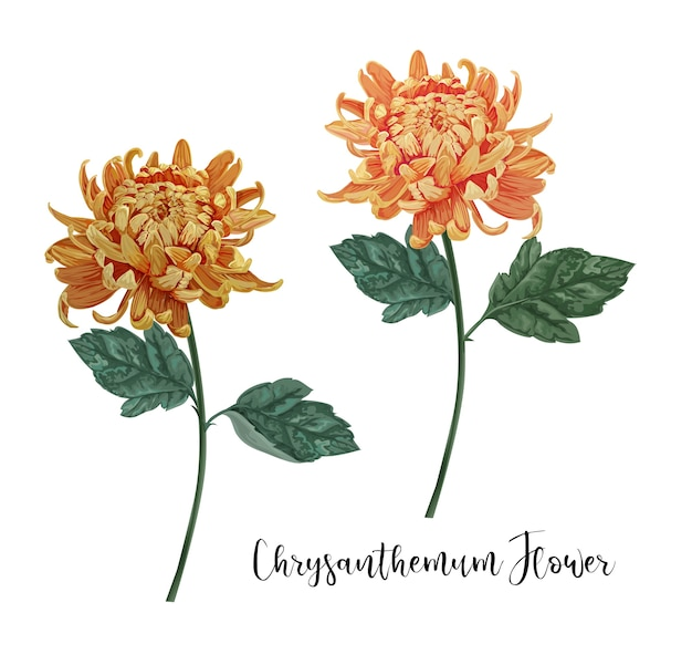 Chrysanthemen blumen