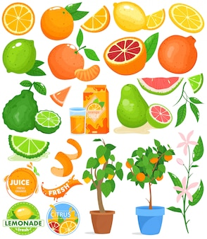 Citrusfruchtvektorillustrationssatz.