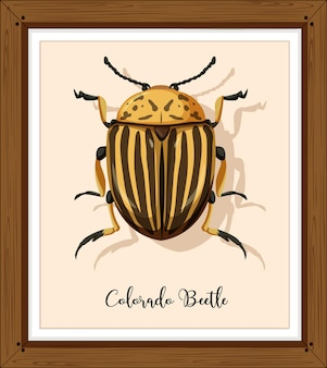 Colorado käfer auf holzrahmen