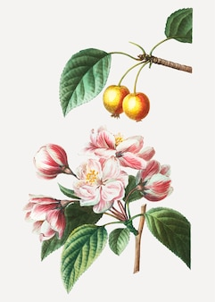 Crabapple-obstbaum