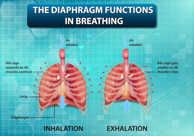 Das zwerchfell funktioniert beim atmen