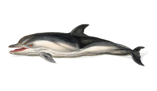Delphinus delphis illustriert von charles dessalines d orbigny (1806-1876).