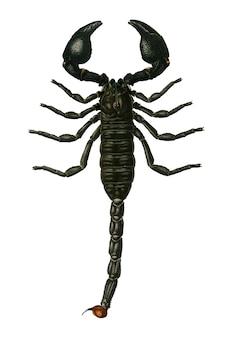 Der kaiser skorpion (buthus afer) illustriert