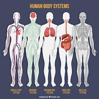 Der menschliche körper system sammlung